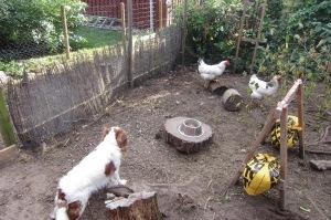 Beans får lov at se sig mæt på de eftertragtede høns, og bliver belønnet for det.